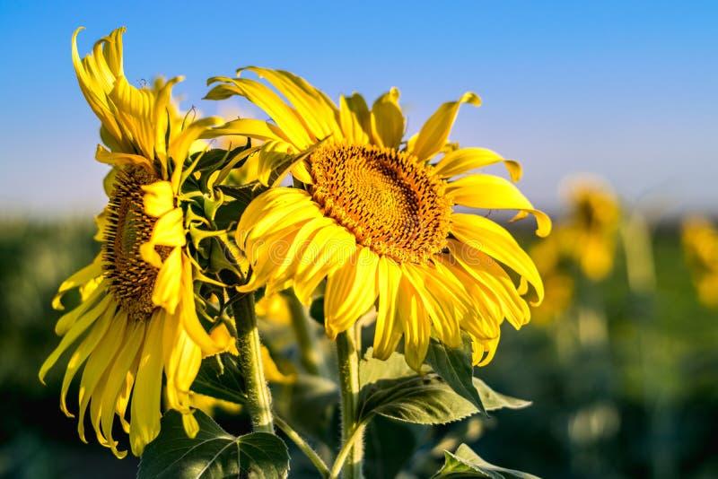 Un girasol en el sol, con el it& x27; pétalos abiertos de s señalados a la luz fotos de archivo libres de regalías