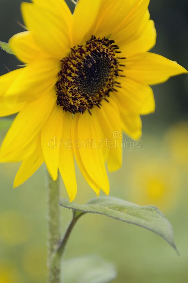 Un girasole giallo con le antere marroni fotografia stock