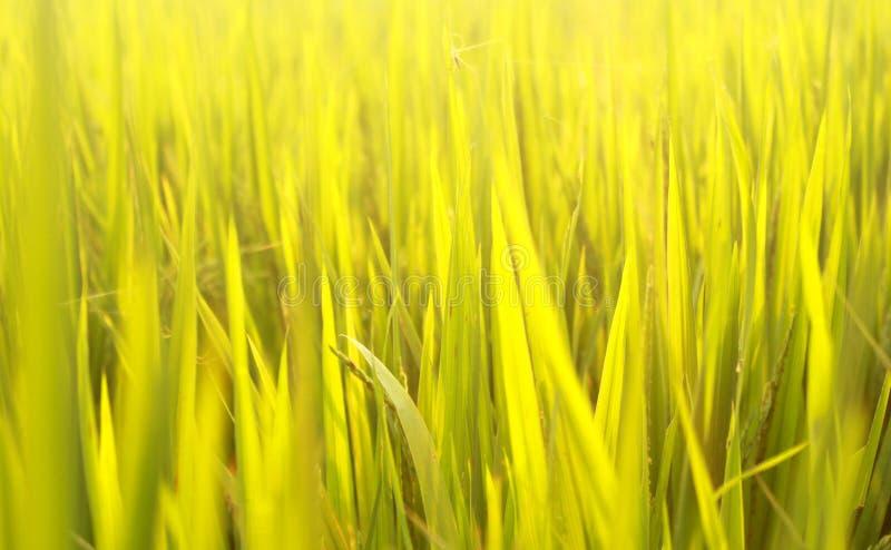 Un gisement vert de riz avec l'éclairage de coucher du soleil photographie stock libre de droits