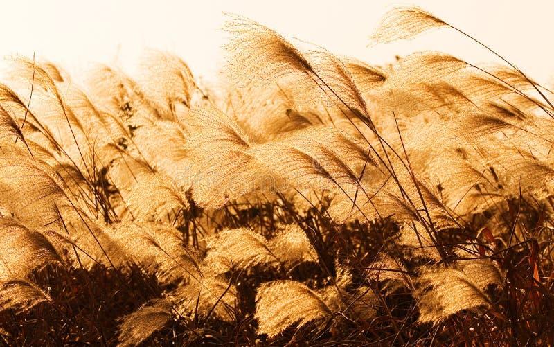 Un giunco Xixi dell'area umida 2 fotografie stock libere da diritti