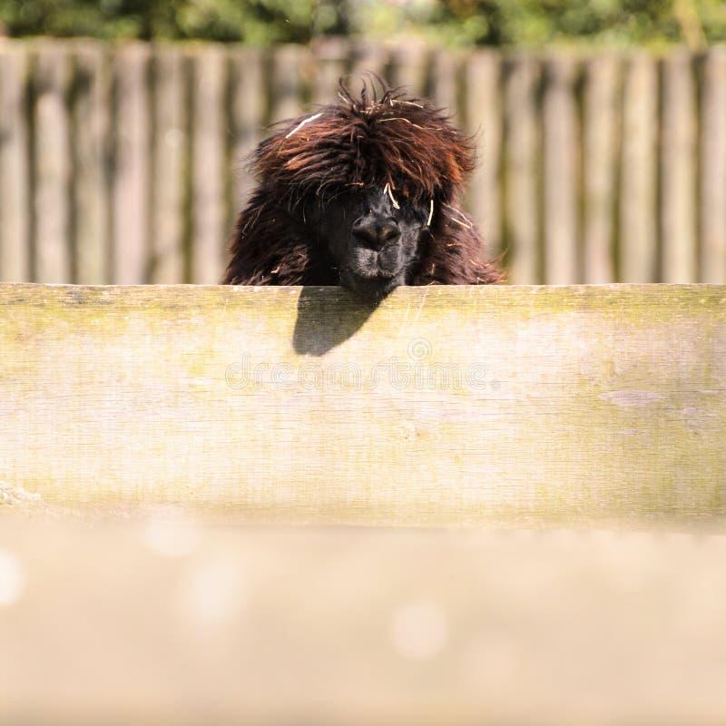 Un glama del lama mira hacia fuera desde arriba de una cerca de madera Dulce y precioso imagen de archivo