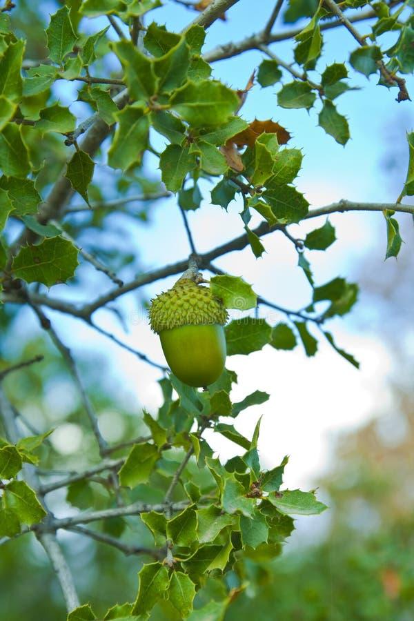 Un gland de chêne photographie stock