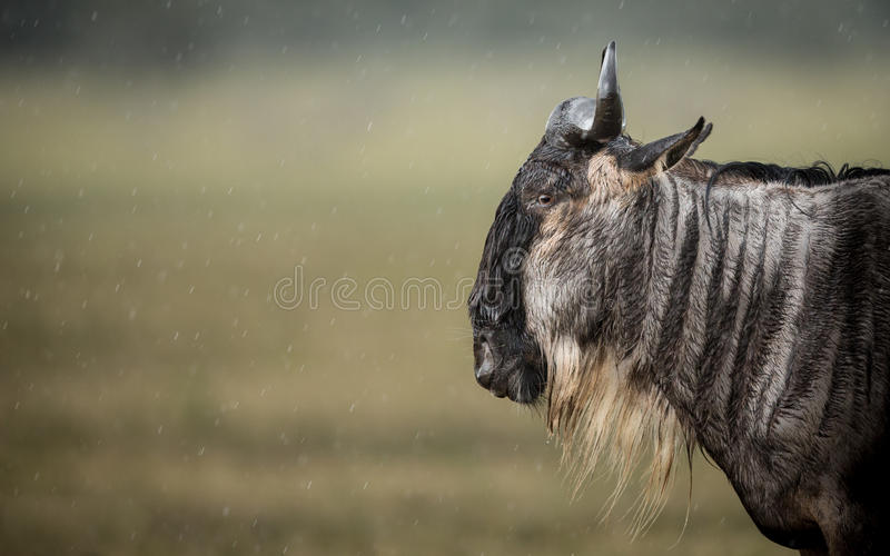 Un gnou barbu blanc se tenant sous la pluie dans le cratère de Ngorongoro, Tanzanie image stock