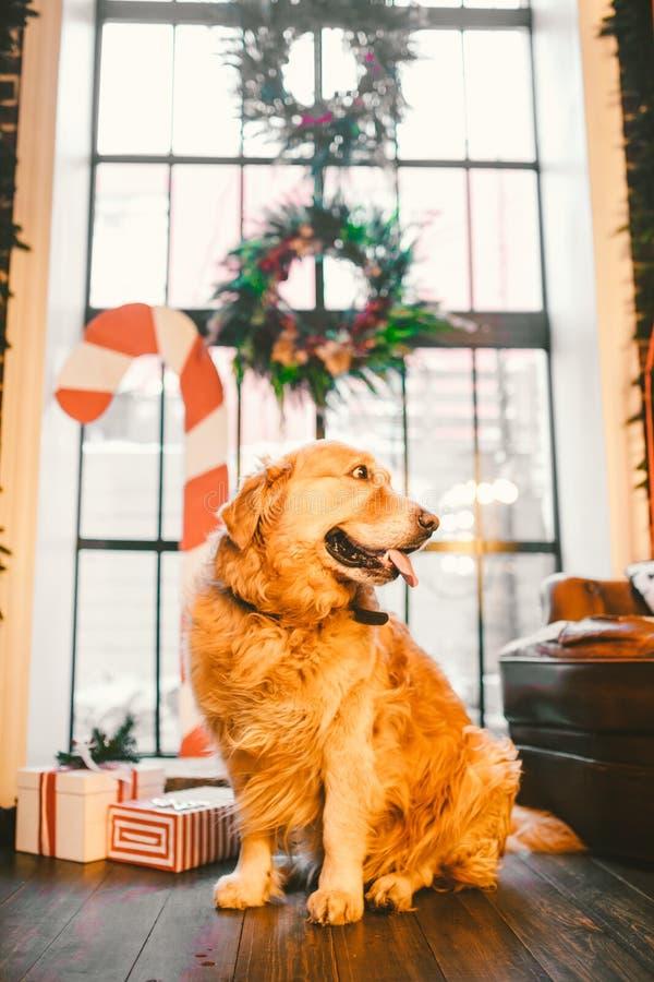 Un golden retriever adulte de pedigree, Labrador se repose dans la pleine croissance sur le fond d'une fenêtre décorée du ` s de  photo libre de droits