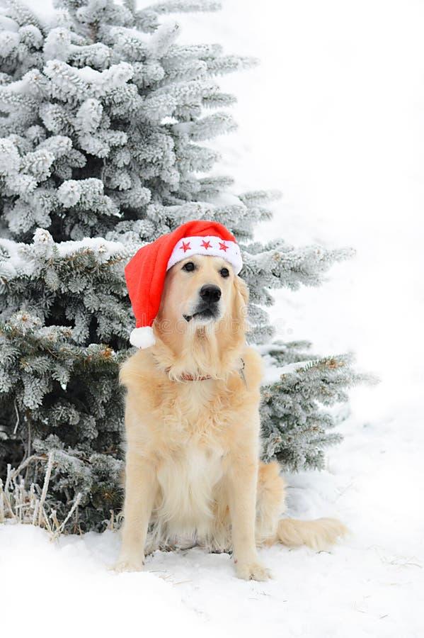 Un golden retriever hermoso que juega afuera en nieve fría del invierno foto de archivo