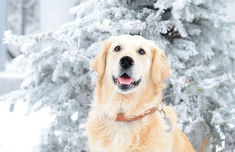 Un golden retriever hermoso que juega afuera en nieve fría del invierno imagen de archivo libre de regalías