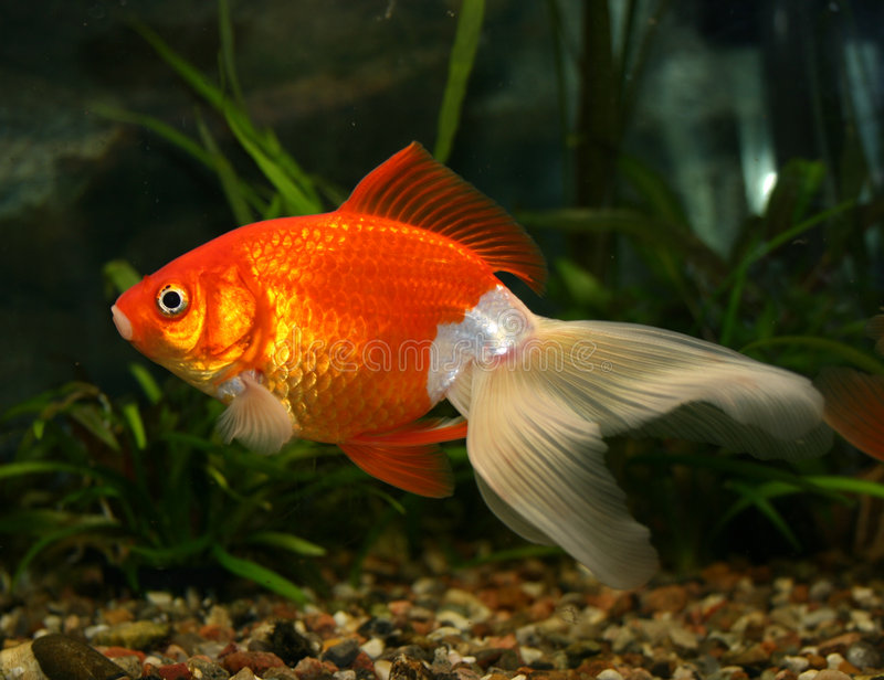 Un Goldfish fotografia stock