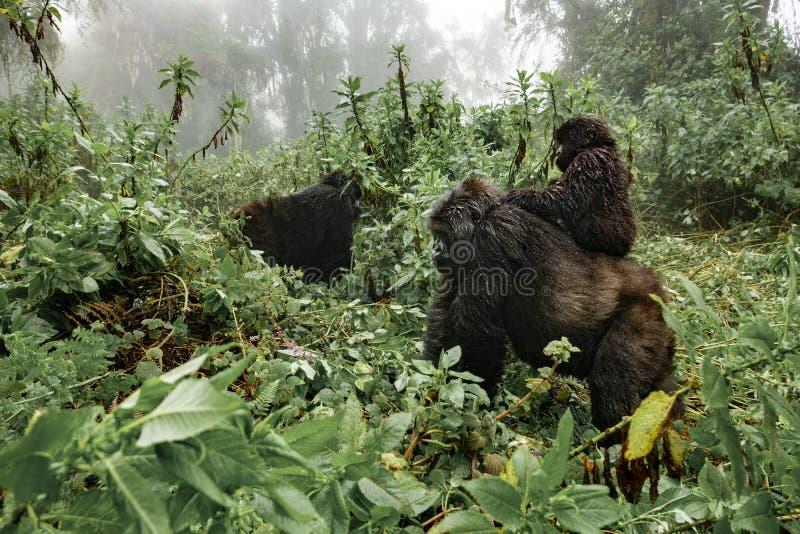 Un gorila de montaña femenino con un bebé en Rwanda fotos de archivo
