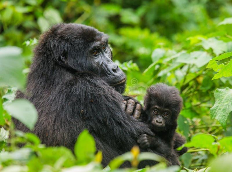 Un gorila de montaña femenino con un bebé uganda Bwindi Forest National Park impenetrable fotos de archivo