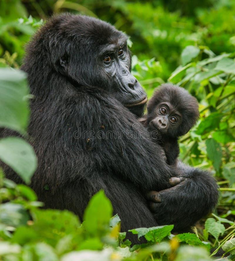 Un gorila de montaña femenino con un bebé uganda Bwindi Forest National Park impenetrable imágenes de archivo libres de regalías
