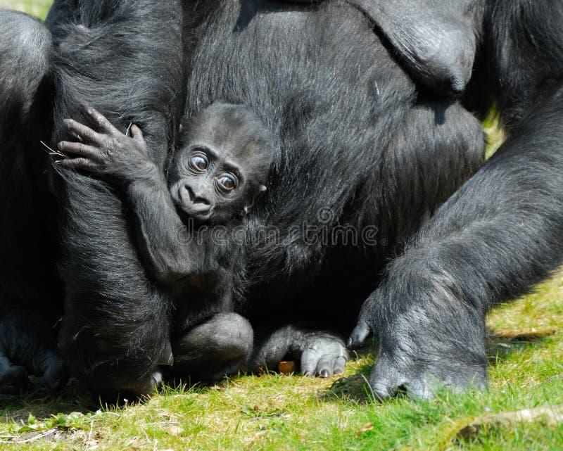 Un gorila lindo del bebé fotografía de archivo libre de regalías