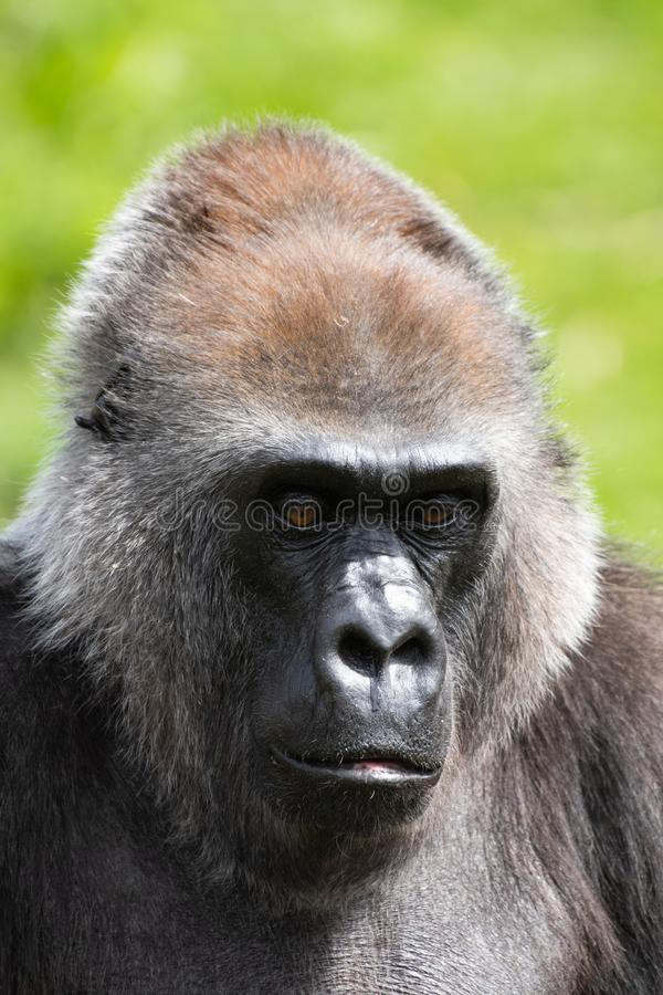 Un gorila occidental occidental adulto que alimenta en Bristol Zoo, Reino Unido fotografía de archivo