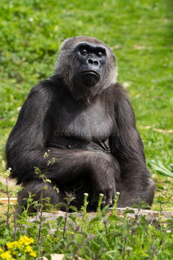 Un gorila occidental occidental adulto que alimenta en Bristol Zoo, Reino Unido foto de archivo libre de regalías