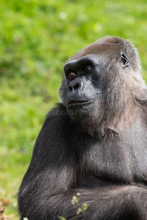 Un gorila occidental occidental adulto que alimenta en Bristol Zoo, Reino Unido imagen de archivo