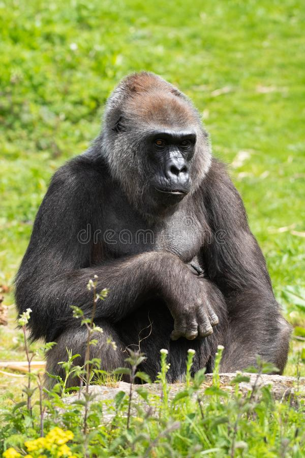 Un gorila occidental occidental adulto que alimenta en Bristol Zoo, Reino Unido fotografía de archivo libre de regalías