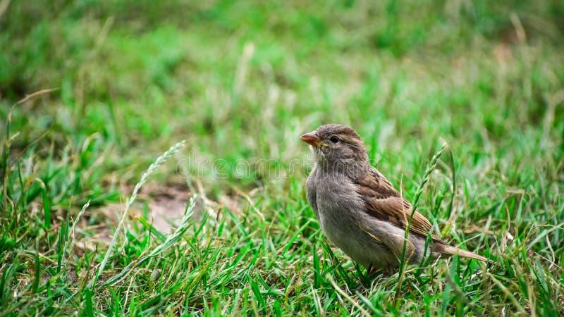 Un gorrión que descansa en la hierba imagen de archivo