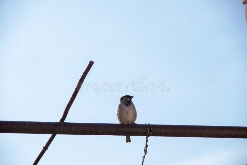 Un gorrión se sienta en un tubo en el fondo de un cielo azul de la primavera foto de archivo libre de regalías