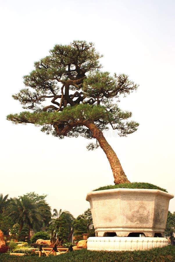Un gran bonsai foto de archivo libre de regalías