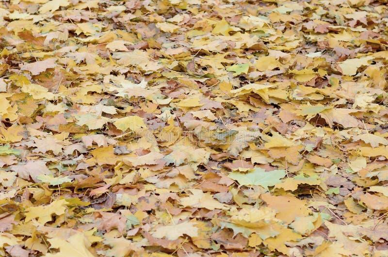 Un gran número de hojas de otoño caidas y amarilleadas en la tierra Textura del fondo del otoño fotografía de archivo libre de regalías