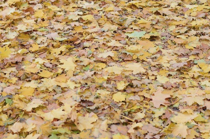 Un gran número de hojas de otoño caidas y amarilleadas en la tierra Textura del fondo del otoño fotos de archivo libres de regalías