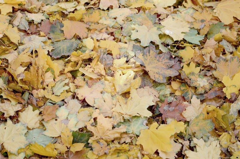 Un gran número de hojas de otoño caidas y amarilleadas en la tierra Textura del fondo del otoño imagenes de archivo