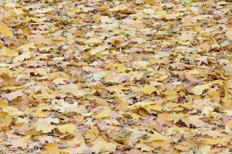 Un gran número de hojas de otoño caidas y amarilleadas en la tierra Textura del fondo del otoño fotografía de archivo