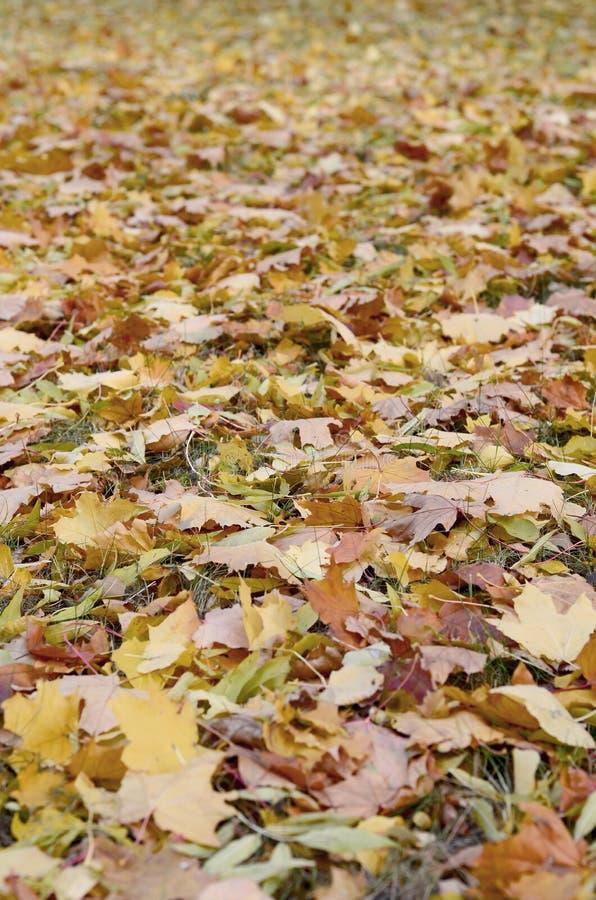 Un gran número de hojas de otoño caidas y amarilleadas en la tierra Textura del fondo del otoño imagen de archivo libre de regalías