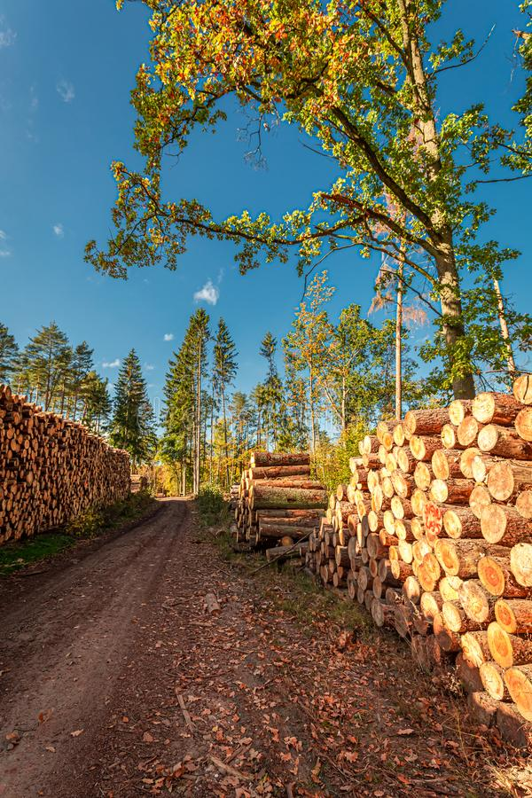 Un gran numero di sradicamento di alberi dopo la tempesta, Polonia fotografia stock