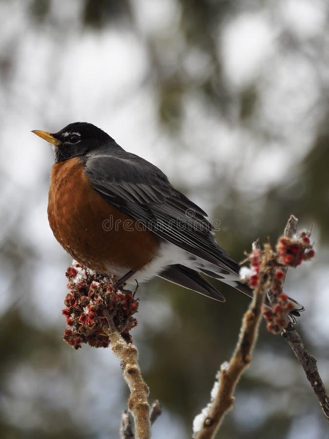 Un grand Américain Robin chantant dans un arbre image libre de droits