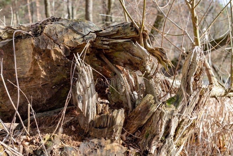 Un grand arbre abattu par des castors Vieux tronc d'arbre sec sur le rivage du lac photos libres de droits