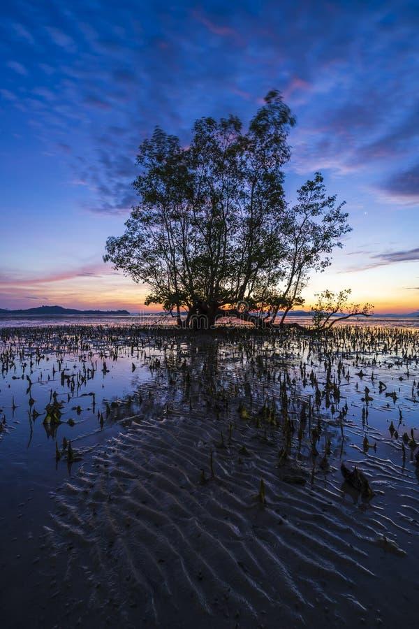 Un grand arbre dans la forêt de palétuvier photos libres de droits