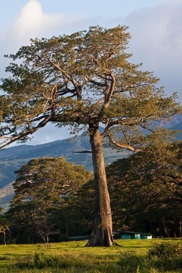 Un grand arbre dans le soleil de matin photos stock