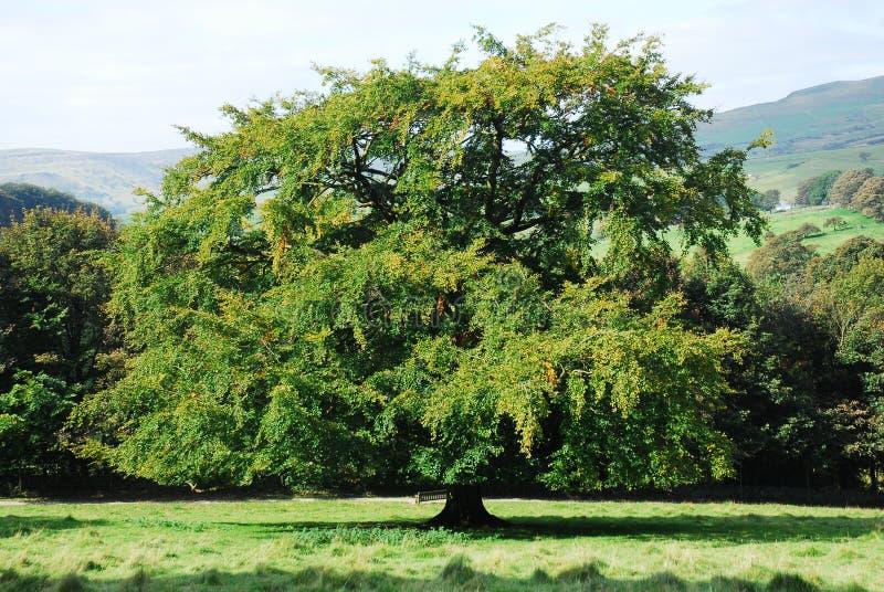 Un grand arbre de chêne images stock