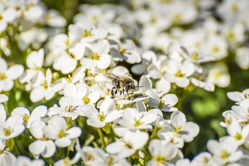 Un grand bourdon se reposant sur un groupe de fleurs blanches photo stock