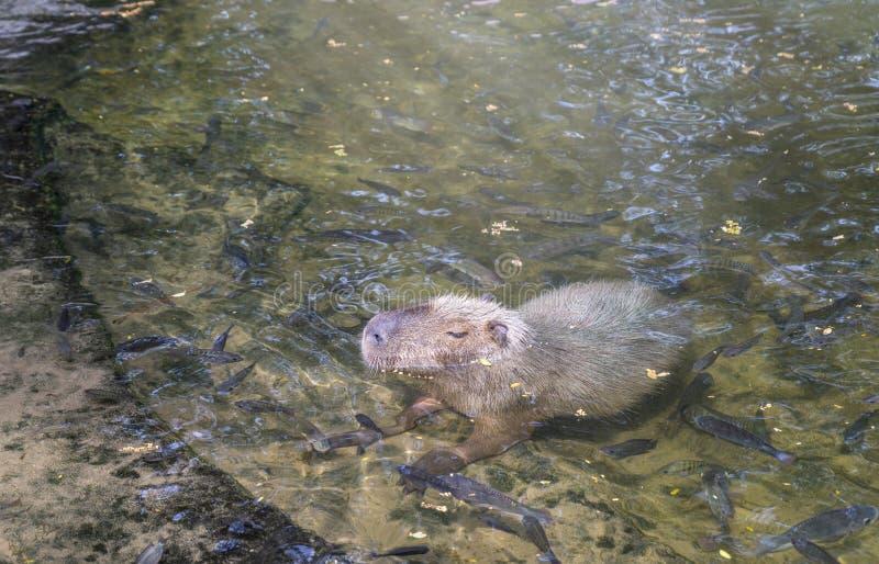 Un grand capybara dans un étang au zoo images libres de droits