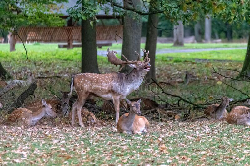 Un grand cerf commun dans le sauvage photos libres de droits