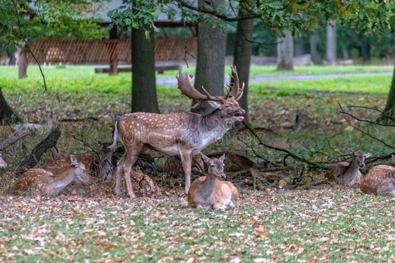 Un grand cerf commun dans le sauvage images stock