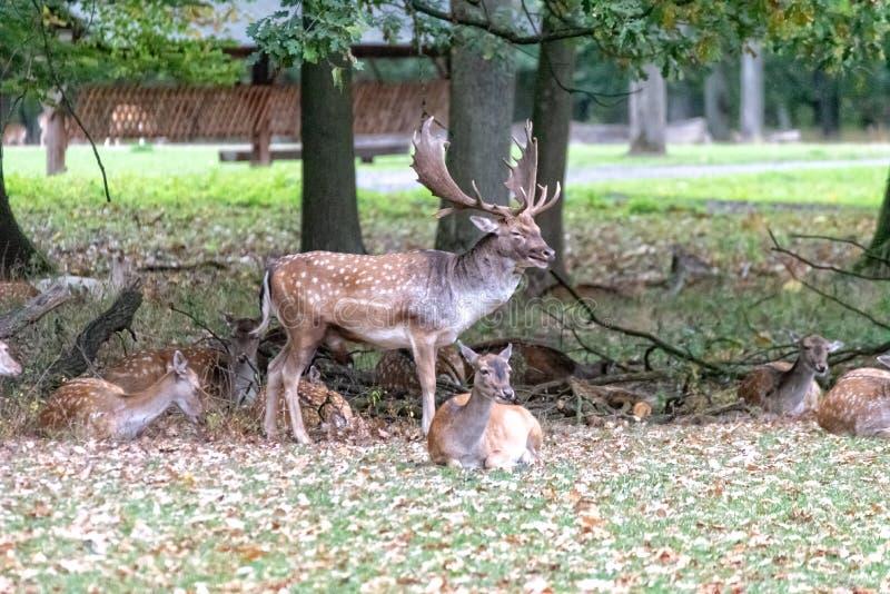Un grand cerf commun dans le sauvage photos stock