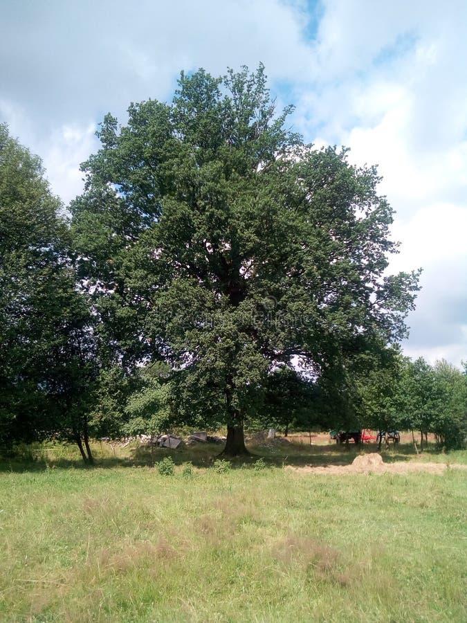 Un grand chêne image libre de droits