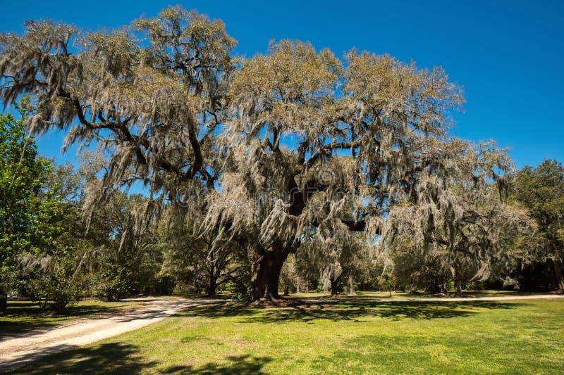 Un grand chêne vivant couvert dans la mousse espagnole de ciel bleu clair à l'arrière-plan photos stock