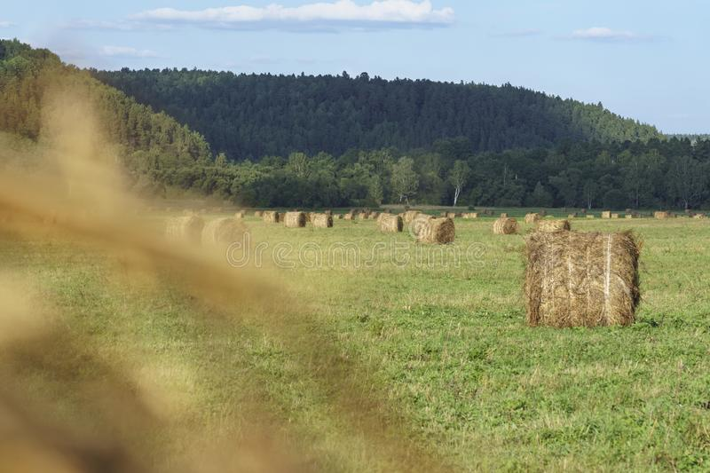 Un grand champ avec un bon nombre de piles de foin aux préparations pour l'hiver photos libres de droits