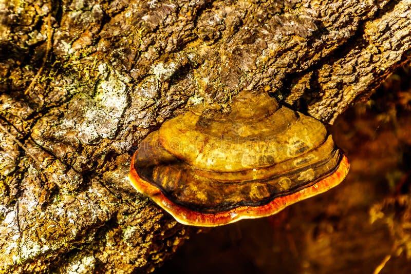Un grand champignon de parenthèse ceinturé rouge un vieil arbre le long du sentier de randonnée aux automnes de Sticta en Wells G image stock