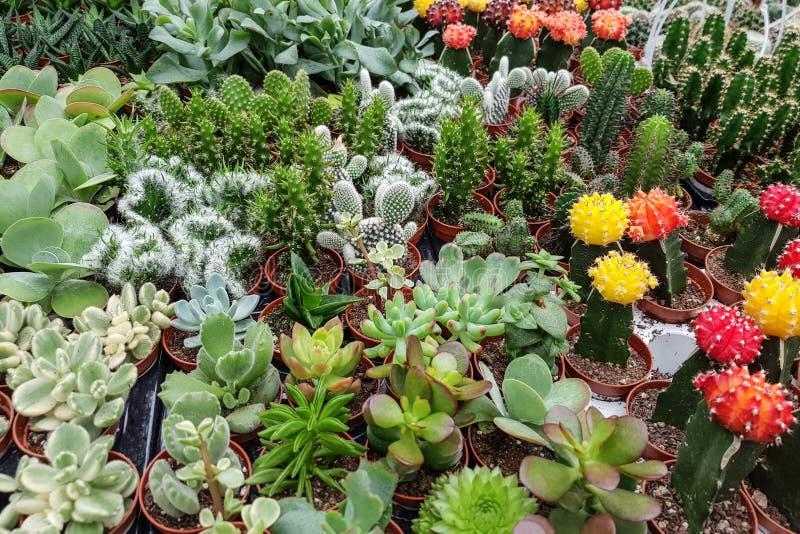 Un grand choix de cactus miniatures dans des pots image stock