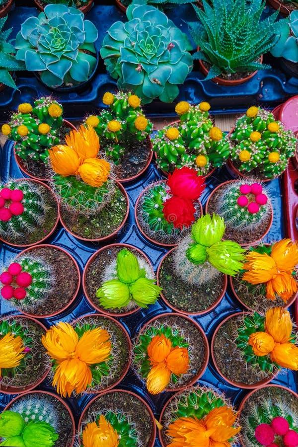 Un grand choix de cactus miniatures dans des pots à la maison Succulents multicolores lumineux photo stock
