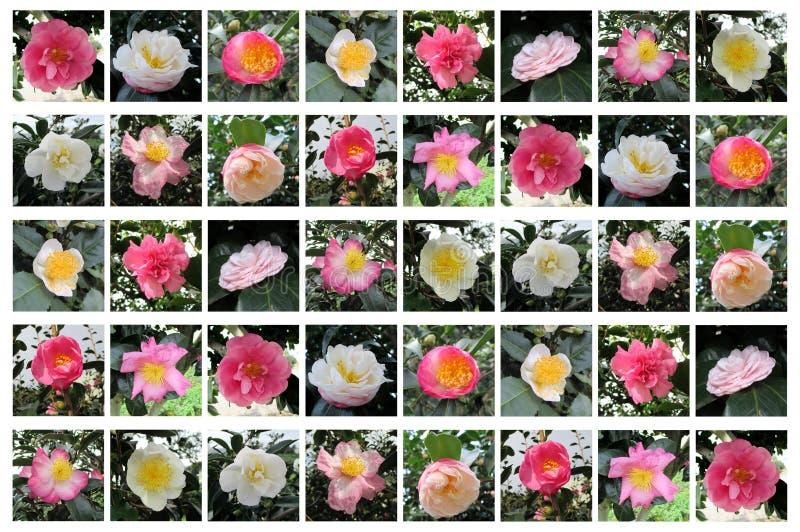 Un grand choix de fleur de camélia photographie stock