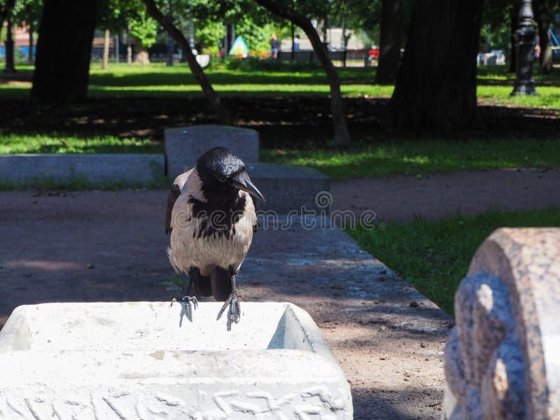 Un grand Corvus gris de corneille se repose sur une poubelle de rue à la recherche de la nourriture photos libres de droits