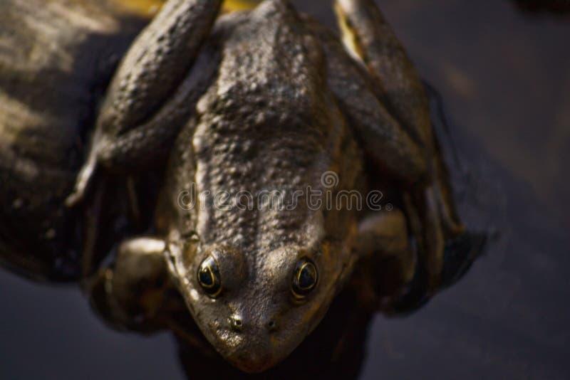 Un grand crapaud brun repose sur une ouverture l'eau d'un étang parmi l'herbe et les algues Sourires de grenouille photo stock