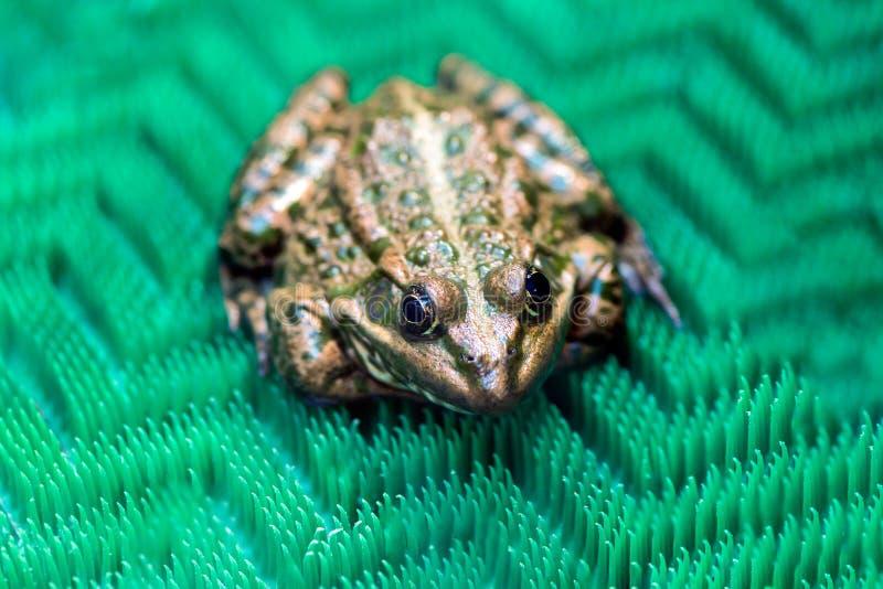 Un grand crapaud se repose sur une surface verte dans une mini-serre La vue franc images stock