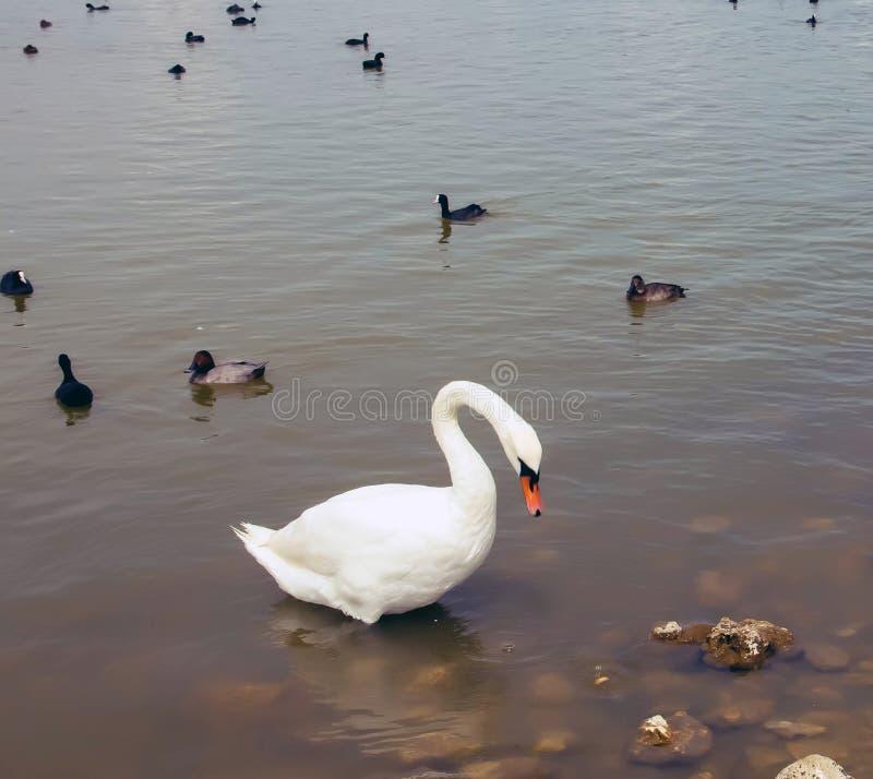 Un grand cygne blanc sur l'eau, avec de petits cygnes noirs photographie stock libre de droits
