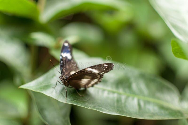 Un grand eggfly papillon attendant pour décoller d'une feuille photo stock